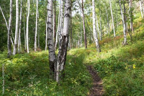 Photo Randonnée en forêt de bouleaux sur le Great Baïkal trail