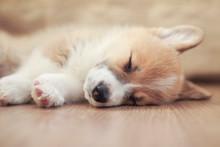 Homemade Puppy Of Corgi Sleeps...