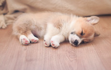 Homemade Puppy Of Corgi Sleep...