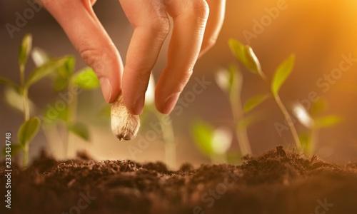 Fototapeta Farmer's hand planting seed in soil