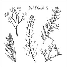 Healing Field Herb Plants Isolated On White Background. Laurels And Twigs For Your Design.