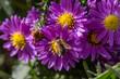 Violette Aster Blume mit Biene