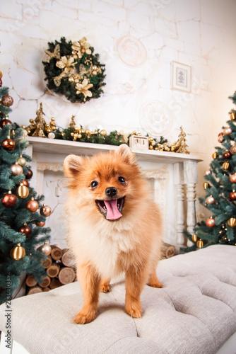 Small Cute Funny Pomeranian Dog Sitting At Sofa On Christmas Tree