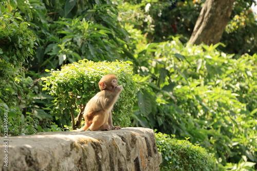Fotobehang Aap Macaque Monkeys in a Temple in Kathmandu, Nepal Monkey