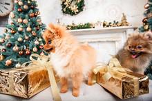 Small Cute Funny Pomeranian Do...