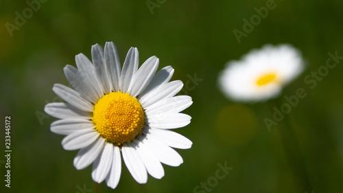 Chrysanthemum maximum_Daisy flower