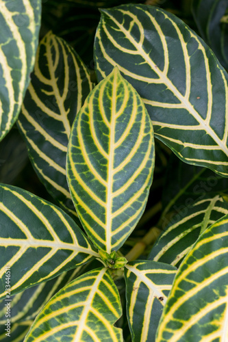 Photo  Sanchezia speciosa Leonard natural abstract background