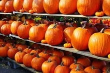 Rows Of Colorful Orange And Yellow Decorative Pumpkins  At The Farmers Market In The Fall