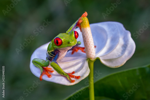 Tuinposter Kikker Red-eyed Tree Frog, Agalychnis callidryas, sitting on the green leave in tropical forest in Costa Rica.