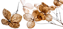 Dry Flowers Close Up In The Detail Isolated On A White Background