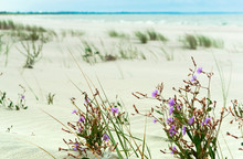 Purple Flowers On The Beach.