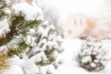 Fir Branches Covered With Snow...