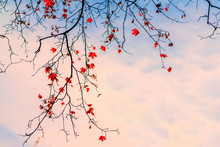 Maple Branch With The Last Autumn Leaves In The Blue Sky At Sunset. Romantic Mood, Concept Of Nostalgia. Natural Background