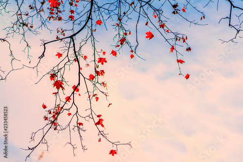 Fototapeta  Maple branch with the last autumn leaves in the blue sky at sunset