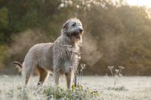 Irischer Wolfshund In Der Morg...