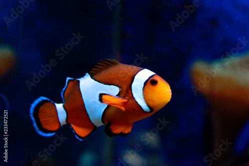 Valokuvatapetti Amphiprion Ocellaris Clown fish