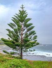 Norfolk Island Pine (Araucaria...