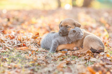 Mongrel Puppy And Tiny Kitten Sleep Together On Autumn Leaves At Sunset