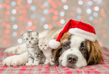 St. Bernard Puppy In Christmas And Two Kittens Together