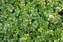 Thymus Citriodorus Or Lemon Th...