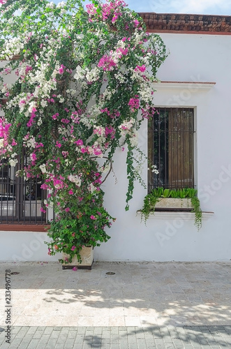 Foto op Canvas Bloemen Trinitarian flower plant planted in a limestone pot in front of an old colonial house