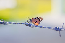 A Butterfly On Barbed Wire. A Symbol Of Freedom In The Prison