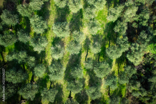 Aerial view of an olive grove
