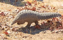 Critically Endangered Pangolin...