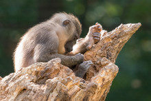 The Baboon's Young Man Examine...