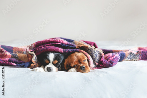Two dogs under the blanket Canvas Print
