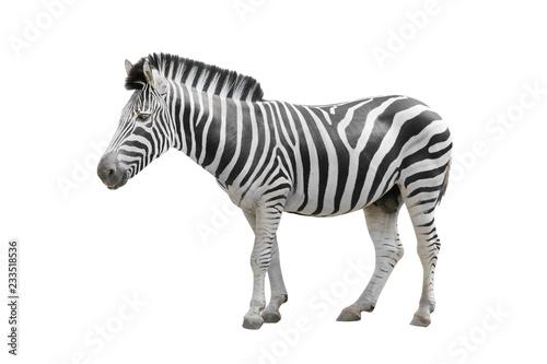 Canvas Prints Zebra zebra isolated on white