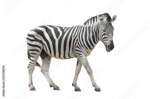Foto auf Gartenposter Zebra zebra isolated on white