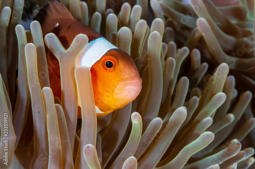 Foto op Canvas Onder water Cute, friendly Clownfish in an anemone on a tropical coral reef