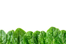 Row Of Green Spinach Leaves Is...