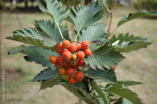 Closeup of cluster of berries of whitebeam Canvas Print