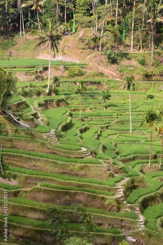 Terraced rice fileds. Tegallalang. Bali. Indonesia