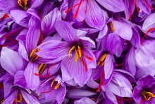 Harvesting The Saffron Flower....
