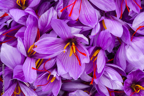 Harvesting the saffron flower Canvas Print