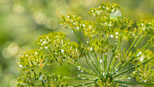 Dill Flowers With Water Drops As A Bright Natural Background