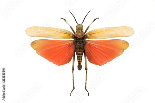 Carta da parati Grasshopper isolated on a white