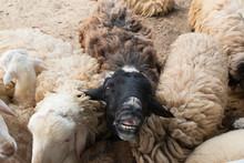 Black Sheep In White Sheep Her...
