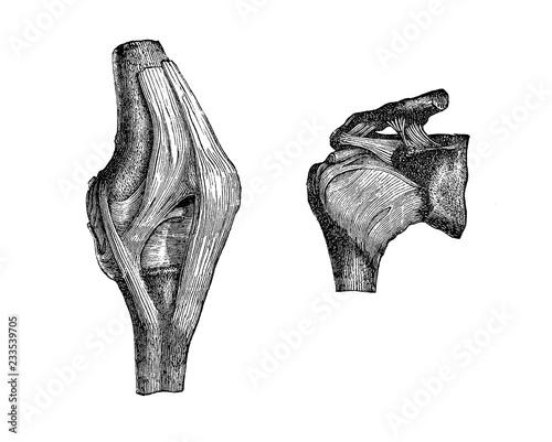 Photo Vintage illustration of anatomy, knee and shoulder articulation