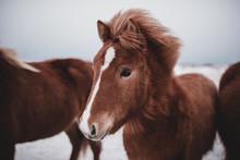 Wild Horse Standing In Iceland