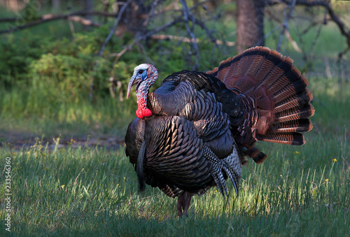 Eastern Wild Turkey male (Meleagris gallopavo) in full strutting display walking through a grassy meadow in Canada