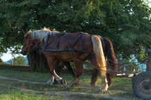 Two Working Horses Are Pulling Home A Wagon At Sunset, Rural Scene Somewhere In The Carpathians