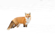Red Fox (Vulpes Vulpes) With A Bushy Tail Hunting In The Winter Snow In Algonquin Park, Canada