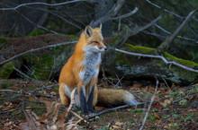 Red Fox (Vulpes Vulpes) In Pin...