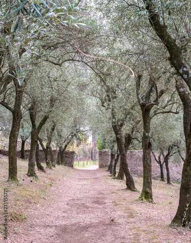 Amalfi Cost Italy Close Up Of Olives Growing On Olive Trees In A