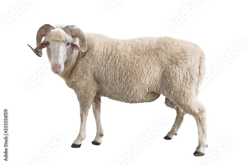 Spoed Fotobehang Schapen white ram isolated