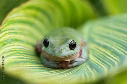 Tuinposter Kikker dumpy frog, tree frog